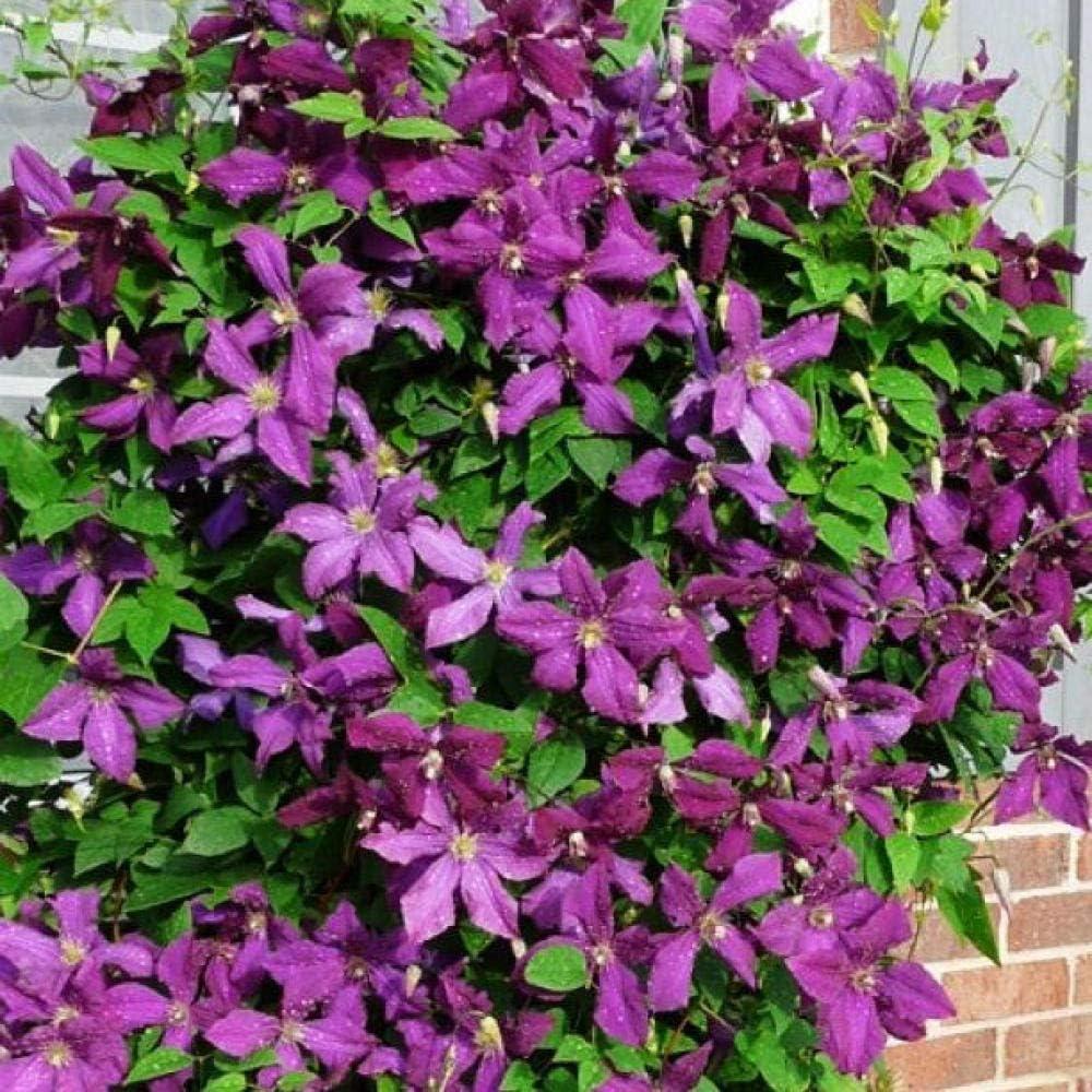 Soil/_R,Semi di Fiori Primavera Pot Rari Fiori Piante per Orto Giardino,Clematis Flower Plant-