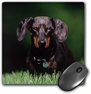 """3dRose 3D Rose""""View of Dapple Colored Dachshund"""" Matte Finish Mouse Pad - 8 x 8"""" - mp_209139_1"""