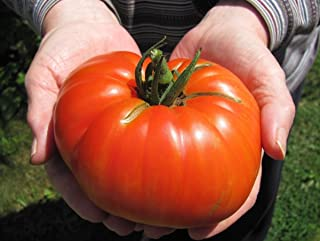 Goliath Hybrid Tomato Seeds ***Bulk 100 Count Pkt **** 1 Pounders * Bright Red