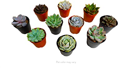Mini Succulents, Live Assorted Plants, Beautiful Colorful Succulents, 2-Inch Potted in Plastic, 50-Pack