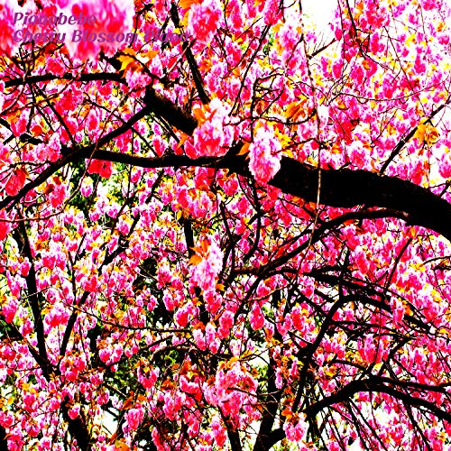 Cherry Blossom Piano(Akio)