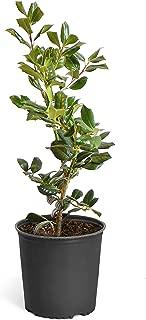 Best tall italian evergreen trees Reviews