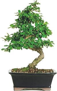 "Brussel's Live Fukien Tea Indoor Bonsai Tree – 6 Years Old; 6"" to.."