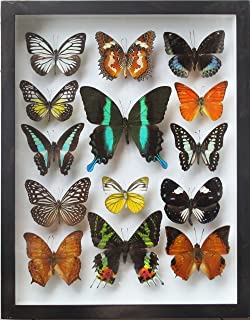 Luxury Frame Display Real 14 Butterflies Collection for Decor