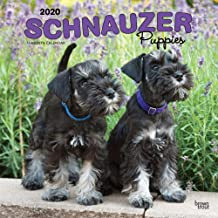 Schnauzer Puppies 2020 12 x 12 Inch Monthly Square Wall Calendar, Animals Dog Breeds Puppies