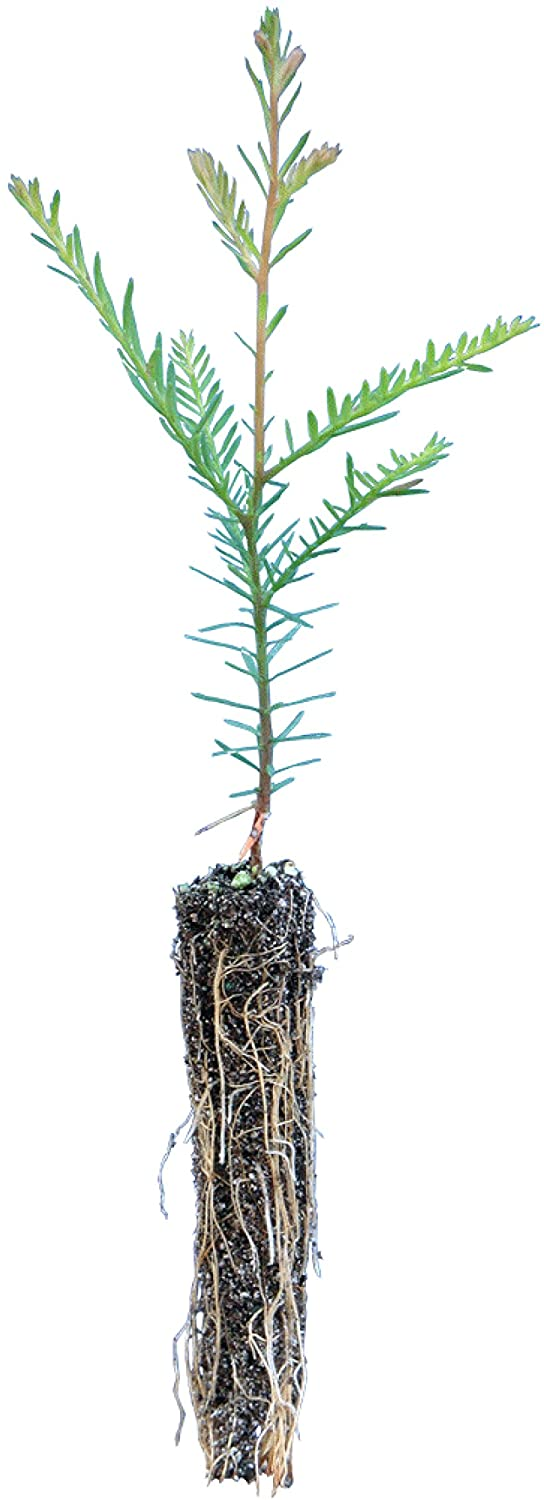 Coast Redwood Small Ranking TOP7 Tree Seedling Company The Sale Special Price Jonsteen