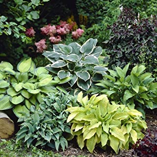Mixed Hosta Perennials (6 Pack of Bare Roots) - Great Hardy Shade Plants