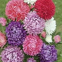 Seeds Aster Pompon Mix Giant Flower Annual Outdoor Garden Cut Organic Ukraine