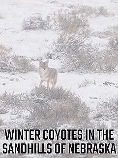 Winter Coyotes in the Sandhills of Nebraska