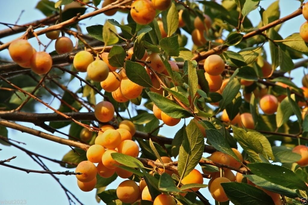 Nancy Tree Seeds (Byrsonima crassifolia) Golden Spoon, Nance, Maricao cimun !(20)
