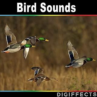 greylag goose sound