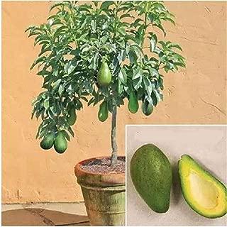 bonsai avocado tree