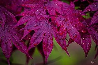 BLOODGOOD JAPANESE MAPLE - Acer palmatum 'Bloodgood' - BEAUTIFUL MAROON RED LEAVES - 4 - Year PLANT