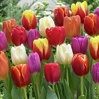 Van Zyverden Tulips Triumph Mixture Set of 50 Bulbs