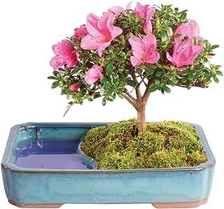 Brussel's Bonsai Live Satzuki Azalea Outdoor Bonsai Tree in Water Pot - 4 Years Old; 8
