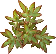 Sedum Adolphii Firestorm Golden Sedum (4 inch pot)