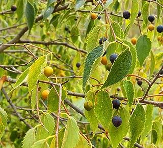HOT - Hackberry - Celtis Occidentalis - 25 Seeds - Ideal for Bonsai