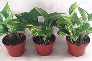 "Golden Devil's Ivy Pothos 4"" Pot 3 pack Very Easy to Grow - unique from Jmbamboo"
