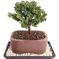 Brussel's Bonsai Dwarf Hinoki Cypress Outdoor Bonsai Tree