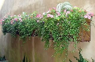 Creeping Wire Vine ,A.k.a Mattress Vine (10 Seeds) Muehlenbeckia Axillaris
