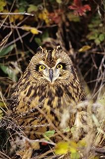 Posterazzi Short-Eared Owl Asio Flammeus Front Range Colorado Poster Print (22 x 34)