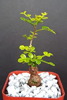 Operculicarya Decaryi Exotic Rare Madagascar Natural Bonsai Plant Caudex 2