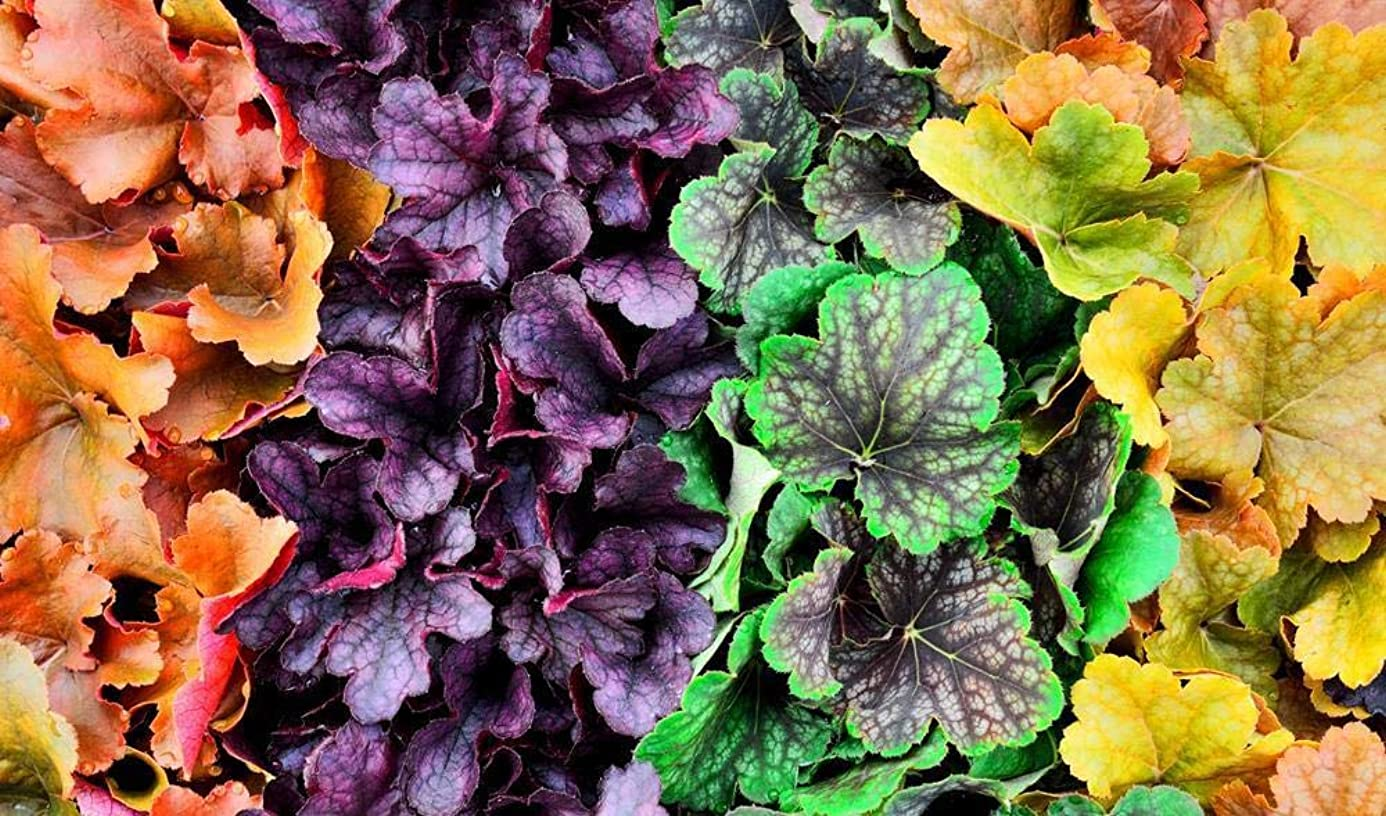 heuchera 60 Seeds Mixed, Coral Bells Seeds - Year-Round Palette of Colours