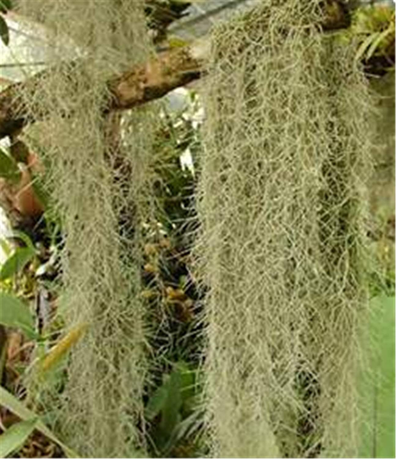 FRESH Max 49% OFF SPANISH MOSS 5 lbs Large-scale sale - crafts for costumes displays and