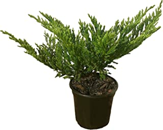 Prince of Wales Juniper - 30 Live Plants in 4 Inch Containers - Juniperus Horizontalis - Evergreen Groundcover