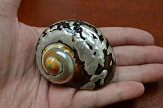 OutletBestSelling Polished Sea Shells  Beach Shells South Africa SARMATICUS Turbo SEA Shell Hermit Crab 2
