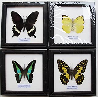 4 MIX REAL BUTTERFLY INSECT TAXIDERMY IN FRAME WITH GLASS FRONT