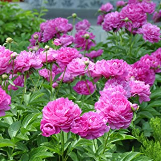 Ywbtuechars Paeonia Lactiflora Seed, 10Pcs Paeonia Lactiflora Flower Seeds Chinese Herbaceous Peony Garden Home Plant, Can Survive in Any Soil Environment