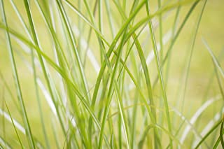 Two #1 Gallon Potted Little Fountain Maiden Grass (Miscanthus sinensis 'Kleine Fontaine') Plant