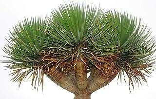 Árbol del drago canario - Dracaena draco - 10 semillas