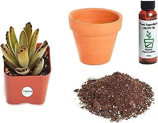Shop Succulents Kalanchoe 'Chocolate Soldier' 2In Plant Kit