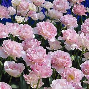 Van Zyverden Tulips Angelique Set of 12 Bulbs