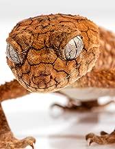 Notebook: rough knob gecko geckos reptile lizard lizards reptiles skin
