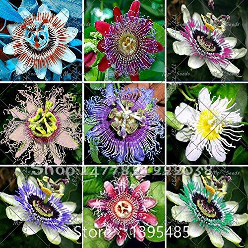 Fleur de la passion (Passiflora incarnata), 100pcs / sac semences en direct certifié Pure plante Native Seed True pour la maison et le jardin