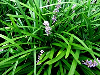 100 Monkey Grass Plants Liriope Bare Root Plants Evergreen Border Plants