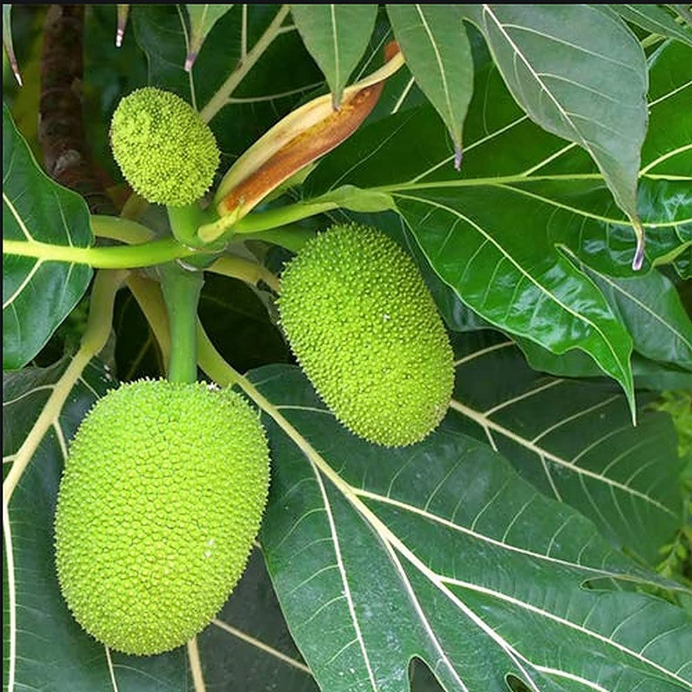 Breadnut Starter T.Ree for P'lanting Store - – Artocarpus 3'' At the price Camansi