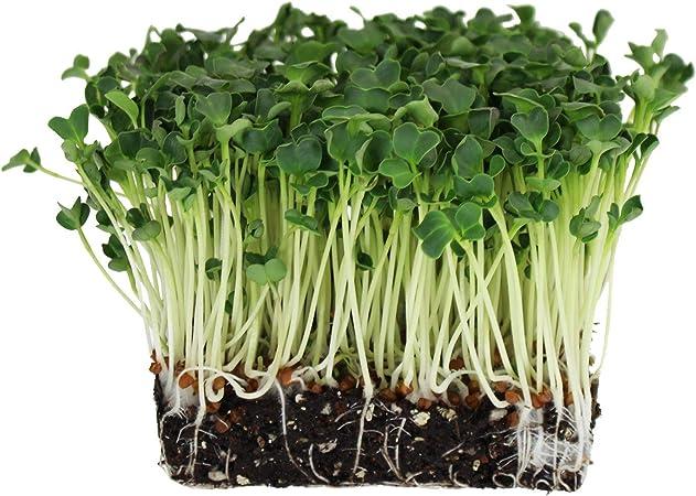 Radish Champion Seeds 25 DAYS 1//4 oz. Gardening Microgreens Sprouts 500