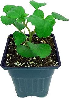 Swedish Ivy - Plectranthus verticillatus - Easy to Grow House Plant - 4