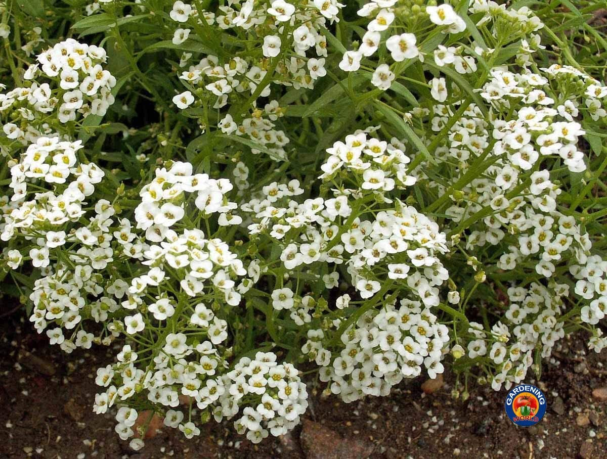 1oz White 2021new shipping free Sweet Alyssum Carpet of Flower Seeds See 000+ Bombing new work 69 Snow