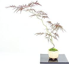 清香園 テーブルに置くだけで風流な紅枝垂れモミジの盆栽