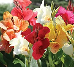 Mixed Tall Canna Lily Value Bag - 6 Bulbs/pkg - Assorted Canna Lilies Red, Yellow, Pink, Orange