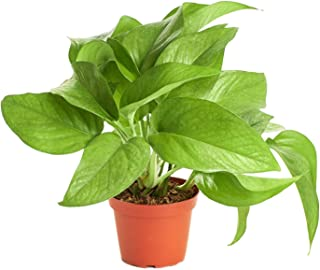 Shop Succulents | Pothos 'Devil's Ivy, Naturally Air Purifying, Easy Care, Live Indoor House Plant in 4