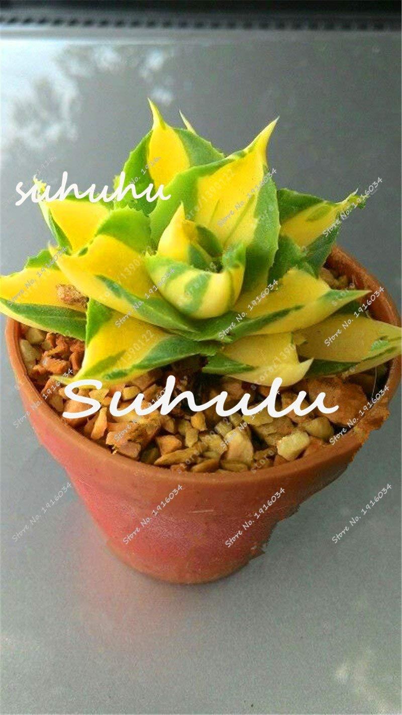 99pcs Bolsa suculentas semillas bien adaptado r/ápido crecimiento de ahorro de agua por la sequ/ía duradera Sembrando la Semilla para el hogar Suculentas semillas