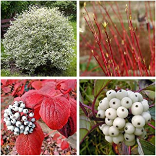 25 FIRE & ICE Dogwood Cornus Alba Shrub Tree Red Bark White Berry & Flower Seeds