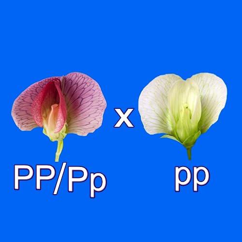 Test Cross: pea flower
