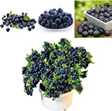 XKSIKjian's Garden 50Pcs Blueberry Tree Seeds Fruit Food Seed Ornamental Plant Home Yard Office Decor Non-GMO Seeds Open Pollinated Seeds for Planting